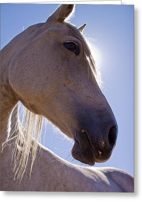 Backlit Greeting Cards - White Horse Greeting Card by Dustin K Ryan