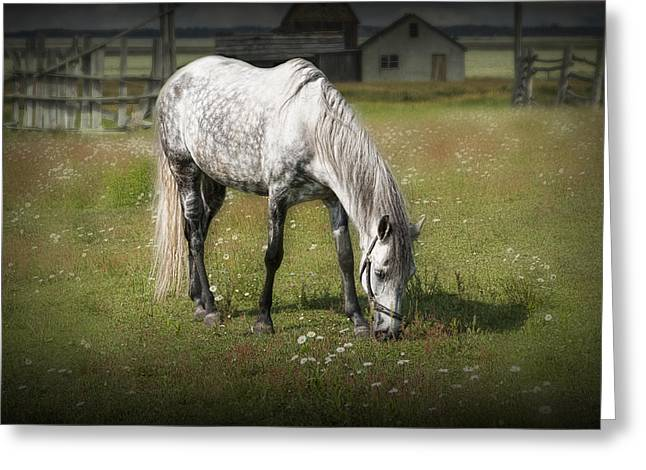 Randy Greeting Cards - White Horse Grazing in a Pasture Greeting Card by Randall Nyhof