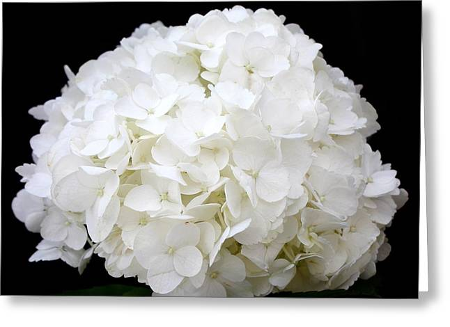 Recently Sold -  - Square Format Greeting Cards - White Hydrangea Greeting Card by Kume Bryant