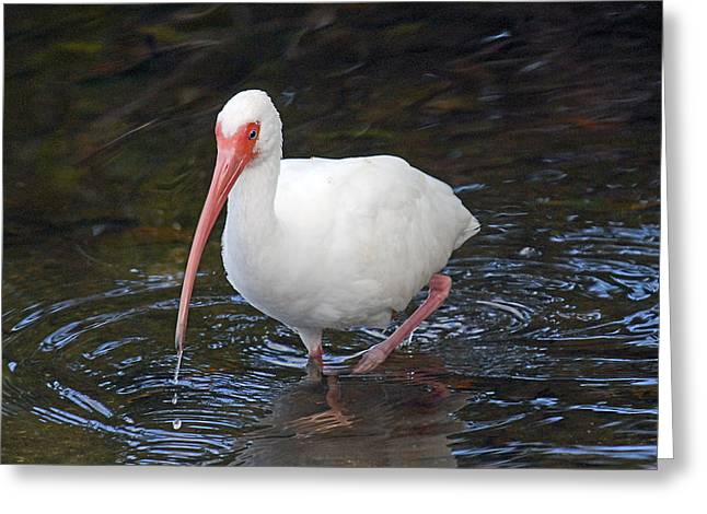 Ibis Greeting Cards - White Ibis Greeting Card by Alan Lenk