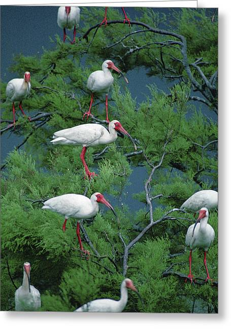 Galveston Photographs Greeting Cards - White Ibis At Galveston Bay Near Smith Greeting Card by Joel Sartore