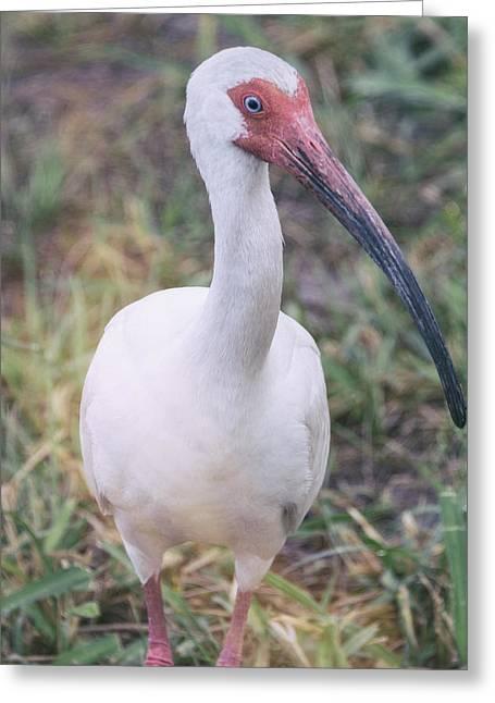 Ibis Greeting Cards - White Ibis in the Morning Light  Greeting Card by Saija  Lehtonen