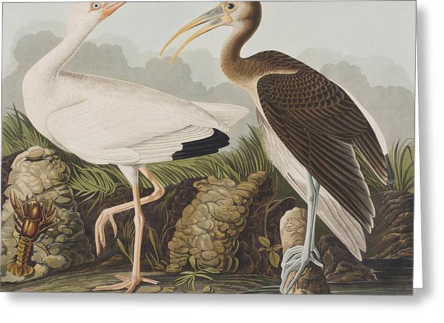Whites Drawings Greeting Cards - White Ibis Greeting Card by John James Audubon
