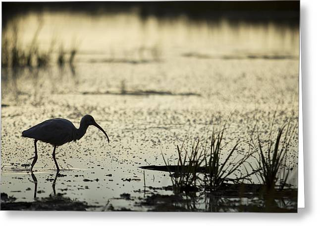 Hunting Bird Greeting Cards - White Ibis Morning Hunt Greeting Card by Dustin K Ryan