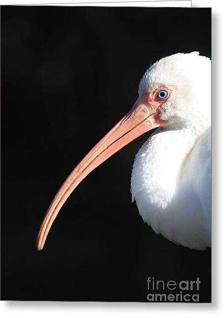 White Ibis Profile Greeting Card by Carol Groenen