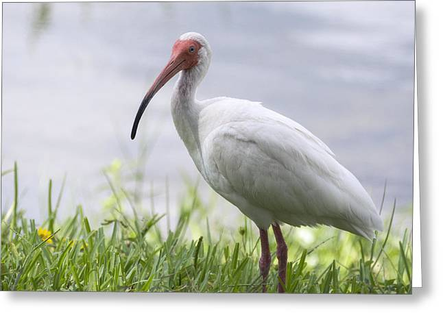 White Ibis  Greeting Card by Saija  Lehtonen