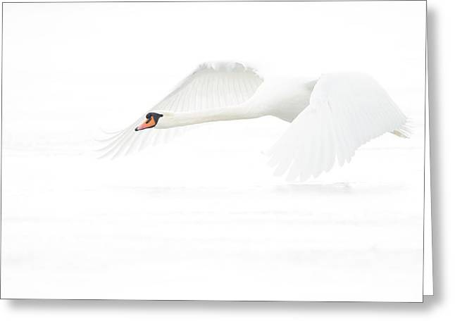 Swans... Greeting Cards - White In Withe (h) Greeting Card by Jeanette Rosenquist