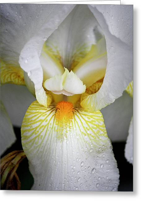 White Beard Greeting Cards - White Iris Study No 1 Greeting Card by Teresa Mucha