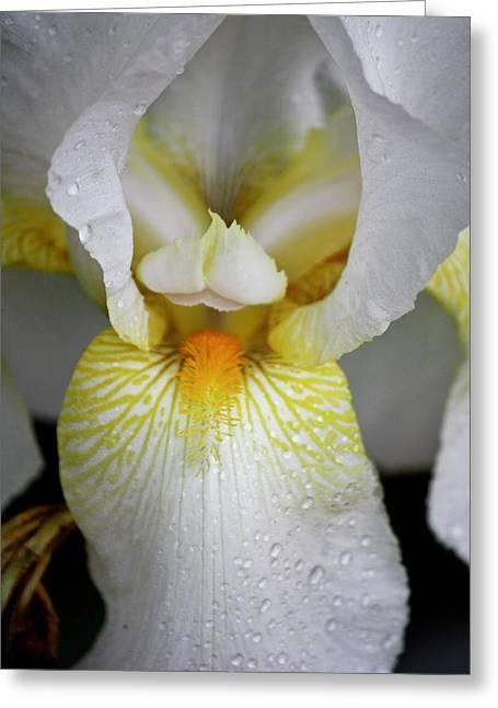 White Beard Greeting Cards - White Iris Study No 4 Greeting Card by Teresa Mucha