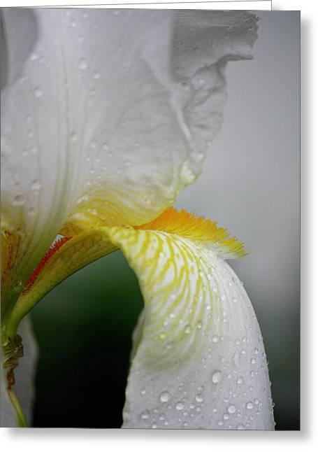 White Beard Greeting Cards - White Iris Study No 6 Greeting Card by Teresa Mucha