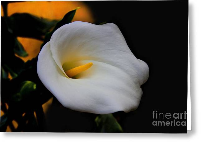 Calla Lily Greeting Cards - White Is The Color Of Peace II Greeting Card by Al Bourassa