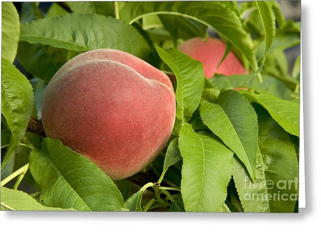 Lady Washington Greeting Cards - White Lady Peach On A Branch Greeting Card by Inga Spence