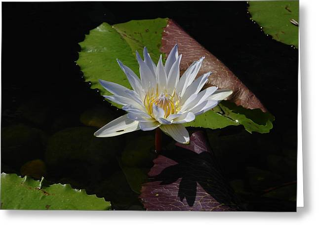 Water Lilly Greeting Cards - White Lilly Greeting Card by Nancy Chase