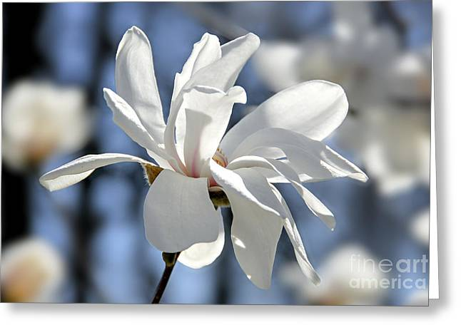 Sunlit Greeting Cards - White Magnolia  Greeting Card by Elena Elisseeva