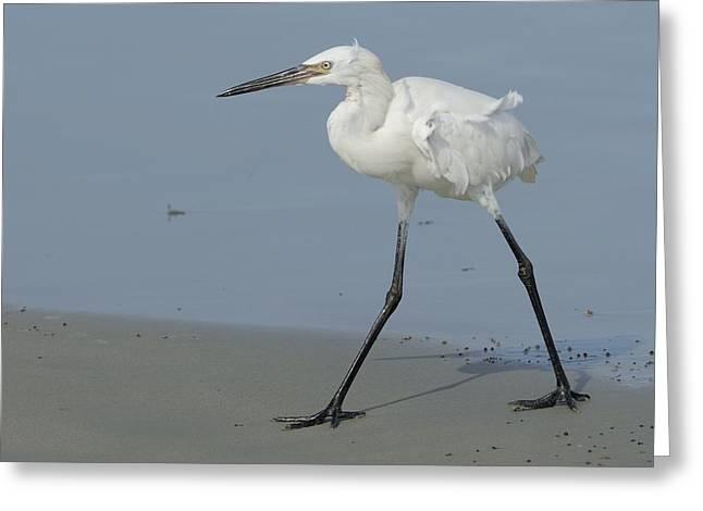 Morph Greeting Cards - White Morph Reddish Egret on Beach Greeting Card by Bradford Martin