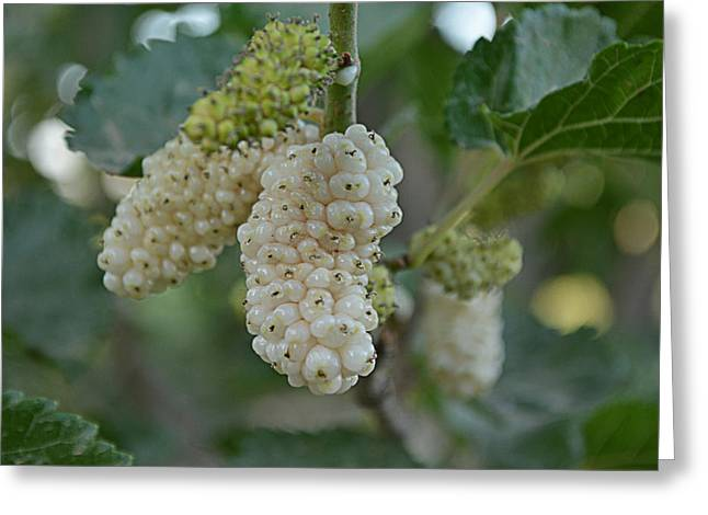 21st Greeting Cards - White Mulberry Greeting Card by Mudhaffr Ahmed