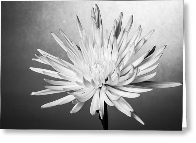 Fine Art Flower Photography Greeting Cards - white Mum Greeting Card by Jon Glaser