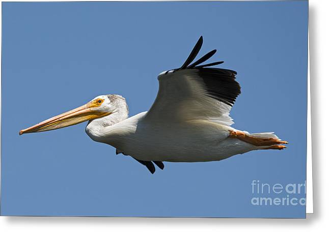 American White Pelican (pelecanus Erythrorhynchos) Greeting Cards - White on Blue Greeting Card by Mike Dawson