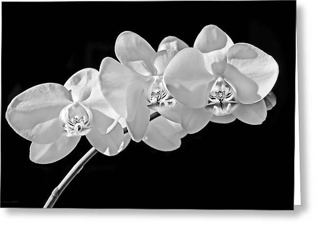 Phalaenopsis Orchid Greeting Cards - White Orchid Flowers Black and White Greeting Card by Jennie Marie Schell