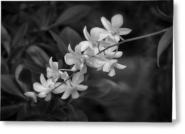 Kim Photographs Greeting Cards - White Orchid Spray Greeting Card by Kim Hojnacki
