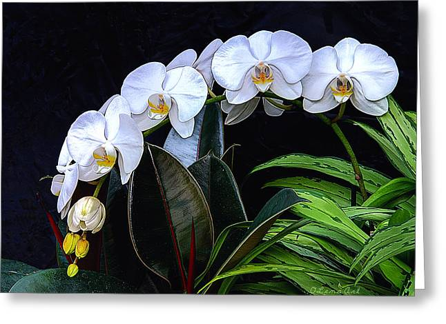 Cultivation Paintings Greeting Cards - White Orchids Greeting Card by OLena Art