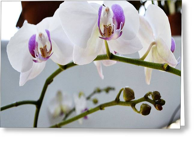 Amateur Photographer Greeting Cards - White Orchids on a Vine Greeting Card by Eva Thomas