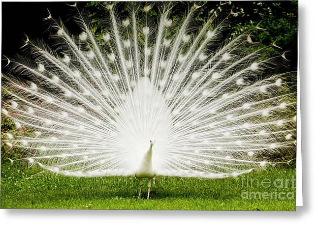 Spreading Greeting Cards - White Peacock  Greeting Card by Dustin K Ryan