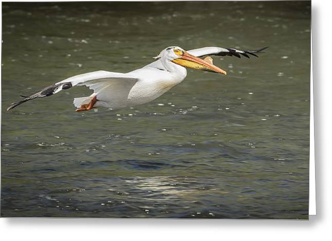 Menasha Greeting Cards - White Pelican 1-2015 Greeting Card by Thomas Young
