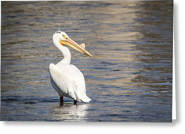 Menasha Greeting Cards - White Pelican 2-2015 Greeting Card by Thomas Young