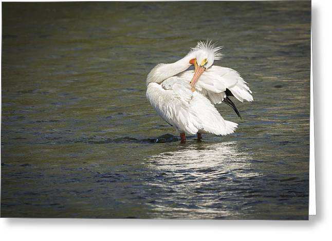 Menasha Greeting Cards - White Pelican 3-2015 Greeting Card by Thomas Young