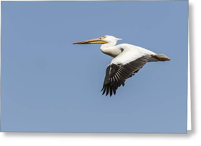 Flying White Pelicans Greeting Cards - White Pelican 4-2015 Greeting Card by Thomas Young