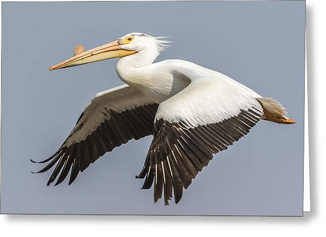 Flying White Pelicans Greeting Cards - White Pelican 5-2015 Greeting Card by Thomas Young