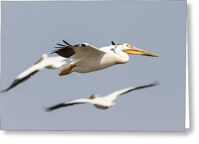 Flying White Pelicans Greeting Cards - White Pelican 6-2015 Greeting Card by Thomas Young