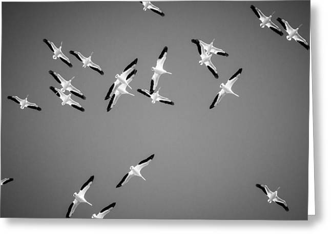 White Pelicans In The Winter Sky - Black And White - Texas Greeting Card by Ellie Teramoto