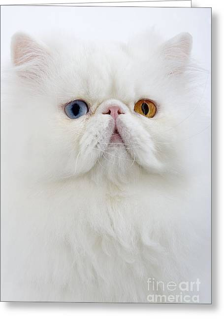 Domestic Pet Portraits.house Cat Greeting Cards - White Persian Cat Greeting Card by Jean-Michel Labat