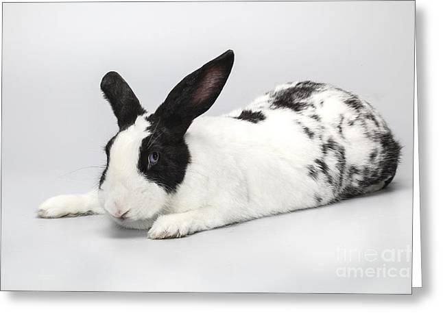Fed Greeting Cards - White Pet Rabbit  Greeting Card by Eran Turgeman