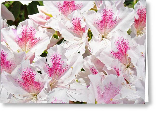 Pink Rhodies Greeting Cards - White Pink Rhododendrons Floral Flowers art prints Baslee Troutman Greeting Card by Baslee Troutman