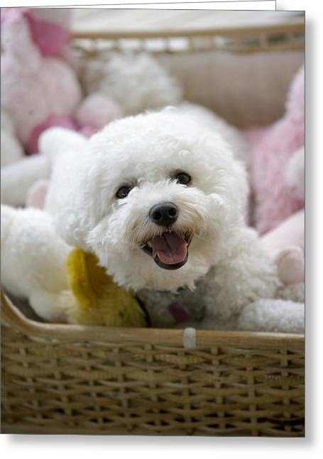 Toy Animals Greeting Cards - White Poodle Lying In Bed With Stuffed Greeting Card by Gillham Studios