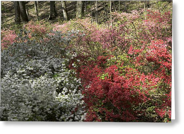 Roanoke Greeting Cards - White Red and Pink Azaleas at Happy Hollow Gardens Greeting Card by Teresa Mucha