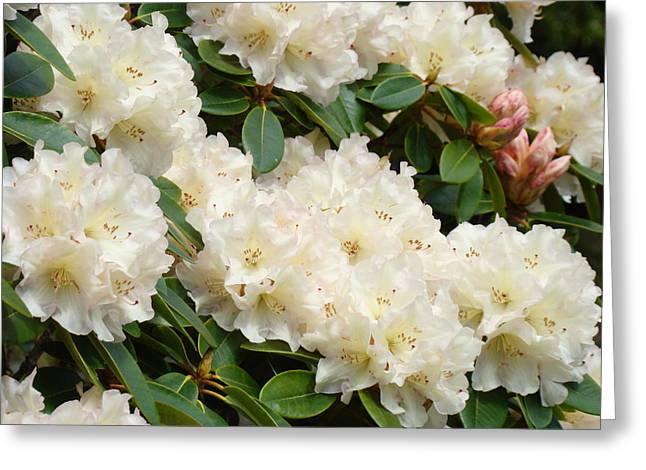 Rhodie Greeting Cards - White Rhodies Landscape Floral Art Prints Canvas Baslee Troutman Greeting Card by Baslee Troutman