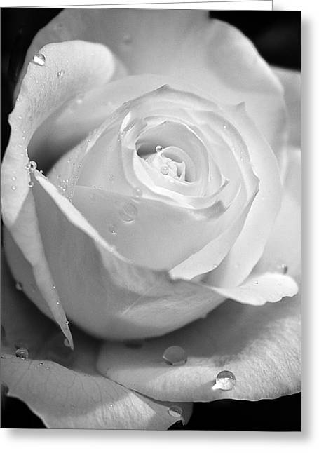 White Rose Greeting Card by Brian Roscorla