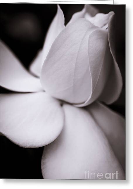 Flower Blossom Greeting Cards - White Rose Greeting Card by Danny Pugh