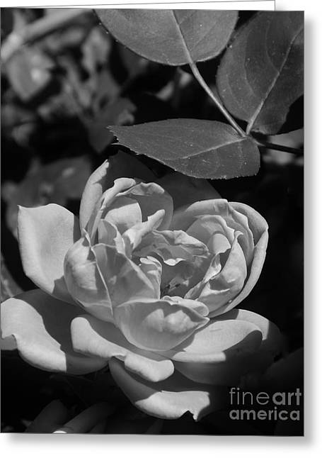 Interior Scene Greeting Cards - White Rose In The Moonlight Greeting Card by Bob Sample