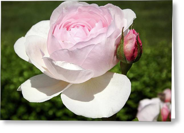 Pinkish Greeting Cards - White Rose Greeting Card by Lourry Legarde