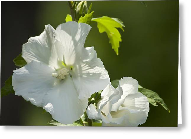 Rose Of Sharon Greeting Cards - White Rose of Sharon Squared Greeting Card by Teresa Mucha