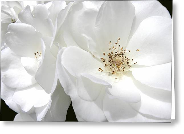 Ivory Flower Greeting Cards - White Roses Macro Greeting Card by Jennie Marie Schell