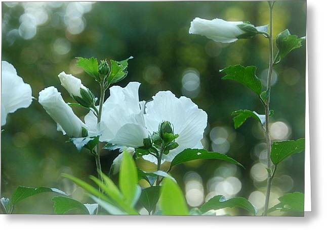 Althea Greeting Cards - White Roses of Sharon Greeting Card by Molly Dean