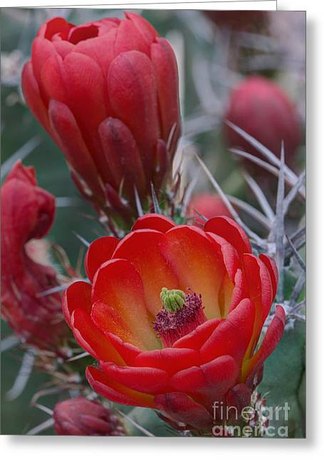 White Sands Claret Cup Cactus Greeting Card by Kenneth M. Highfill