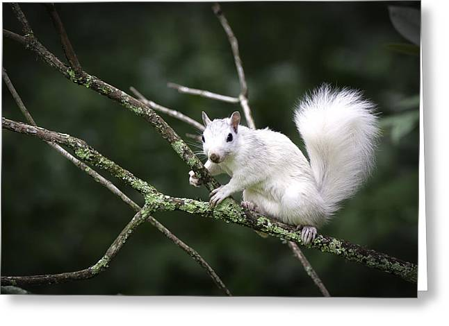 Diagonal Lines Greeting Cards - White Squirrel on Branch Greeting Card by Rob Travis