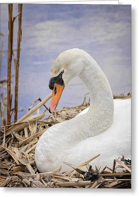 Flying Mute Swan Greeting Cards - White Swan on Nest Greeting Card by LeeAnn McLaneGoetz McLaneGoetzStudioLLCcom
